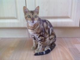 Foto 5 Bengal-Katzen