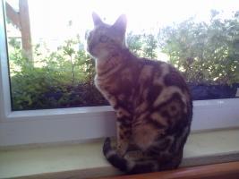 Foto 6 Bengal-Katzen