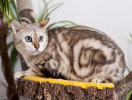 Foto 2 Bengal Katzen mit Stammbaum