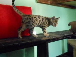 Foto 3 Bengal Katzenbabys mit Papiere