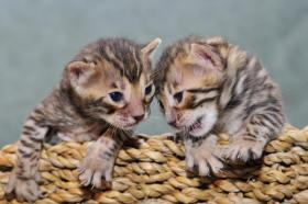 Foto 2 Bengal Kitten