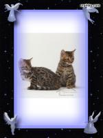 Foto 4 Bengal Kitten