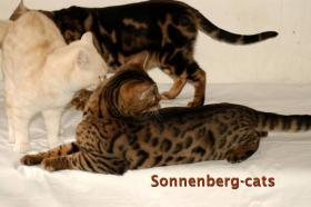 Foto 5 Bengal Kitten