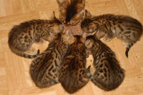 Foto 6 Bengal Kitten