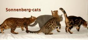 Foto 7 Bengal Kitten