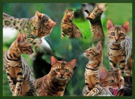 Foto 8 Bengal Kitten