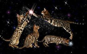 Bengal Kitten in Sonderfarben , atemberaubender Kontrast
