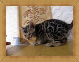 Foto 4 Bengal Kitten in Sonderfarben , atemberaubender Kontrast