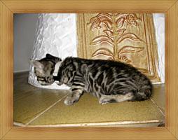 Foto 5 Bengal Kitten in Sonderfarben , atemberaubender Kontrast