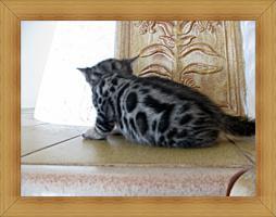 Foto 6 Bengal Kitten in Sonderfarben , atemberaubender Kontrast