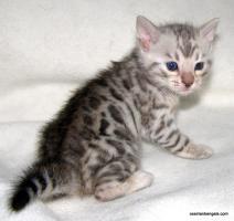 Foto 2 Bengal Kitten mit Stammbaum