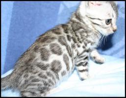 Foto 4 Bengal Kitten mit großen Rosetten