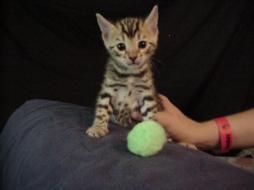 Bengal Kitten suchen neues Zuhause