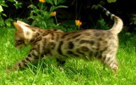 Foto 2 Bengal Kitten - exclusive Zuchtservis
