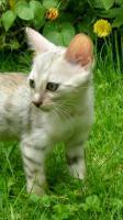 Foto 3 Bengal Kitten - exclusive Zuchtservis