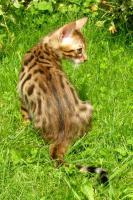 Foto 4 Bengal Kitten - exclusive Zuchtservis