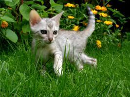 Foto 5 Bengal Kitten - exclusive Zuchtservis