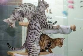 Bengal katzchen mit gutem Charakter