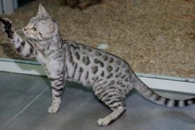 Foto 3 Bengal katzchen mit gutem Charakter