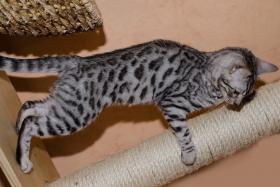 Foto 4 Bengal katzchen mit gutem Charakter