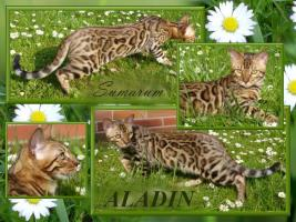 Bengal katzen in TOP Quality