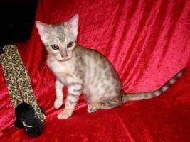 Foto 4 Bengal kitten mit Stammbaum