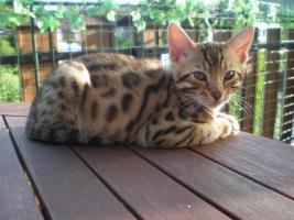 Bengal kitten , Bengalen, Bengalkatze, Bengalkater, Babies 11 Wochen alt