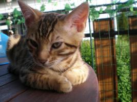 Foto 2 Bengal kitten , Bengalen, Bengalkatze, Bengalkater, Babies 11 Wochen alt