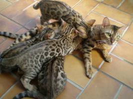 Foto 3 Bengal kitten , Bengalen, Bengalkatze, Bengalkater, Babies 11 Wochen alt