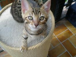 Foto 4 Bengal kitten , Bengalen, Bengalkatze, Bengalkater, Babies 11 Wochen alt