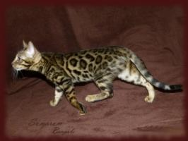 Foto 3 Bengal kittens TOP quality