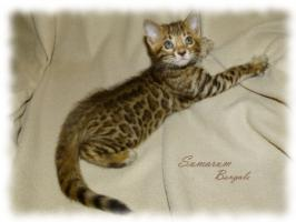 Foto 5 Bengal kittens TOP quality