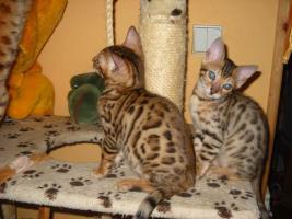 Bengalkatze Kätzchen mit Papiere