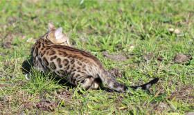 Foto 2 Bengalkatzen