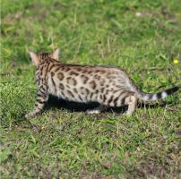 Foto 6 Bengalkatzen