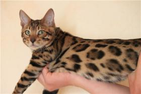 Bengalkatzen