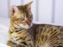 Foto 3 Bengalkatzen