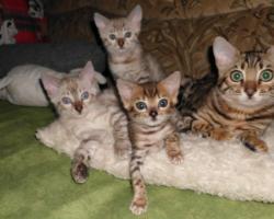 Bengalkatzen Jungtiere