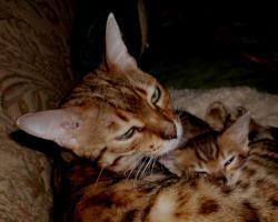 Foto 2 Bengalkatzen Jungtiere