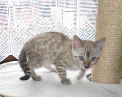 Foto 3 Bengalkatzen Jungtiere