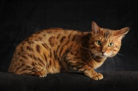 Bengalkatzen zu verkaufen
