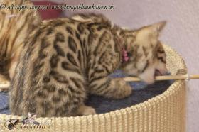 Bengalkater Crazy Chase 17 Fs