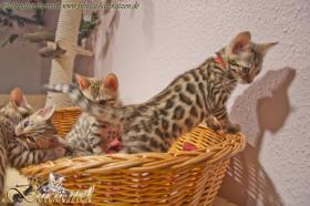Foto 3 Bengalkatzen, Kitten (geb. 29.08.10) und auch 2 ältere Tiere aus Hobbyzucht
