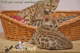 Foto 4 Bengalkatzen, Kitten (geb. 29.08.10) und auch 2 ältere Tiere aus Hobbyzucht