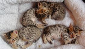 Bengalkatzenbabys