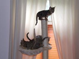 Foto 2 Bengalkitten im KÖNIGSleopardenLOOK ; -) abgabebereit! Bengal