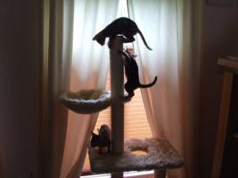 Foto 3 Bengalkitten im KÖNIGSleopardenLOOK ; -) abgabebereit! Bengal