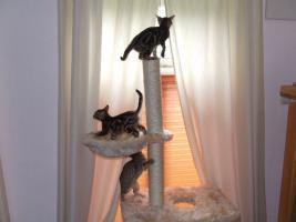 Foto 4 Bengalkitten im KÖNIGSleopardenLOOK ; -) abgabebereit! Bengal