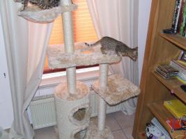 Foto 8 Bengalkitten im KÖNIGSleopardenLOOK ; -) abgabebereit! Bengal