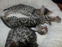 Foto 2 Bengalkitten aus der Zucht Marula-Bengals abzugeben